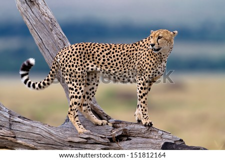 One of three Cheetah brothers on a dry branch, Mother: Honey, Masai Mara, Kenya - stock photo