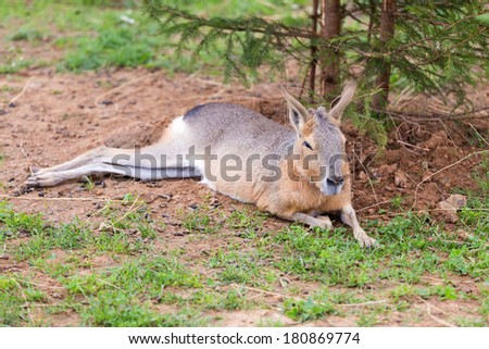 One Patagonian mara lying on the grass - stock photo