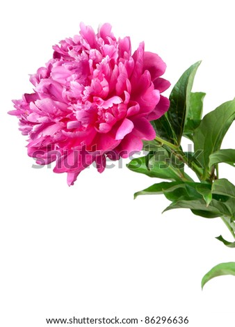 one peony isolated on white