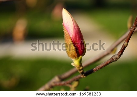 One pink magnolia bud with green in background