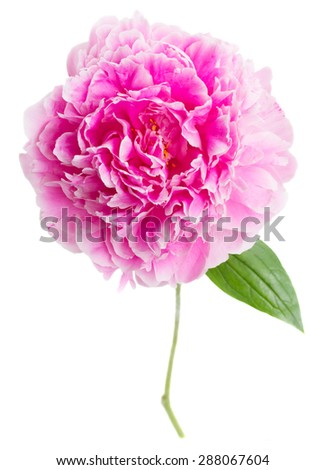 one pink  peony flower  isolated on white background