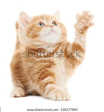 One Playing british shorthair red kitten cat isolated - stock photo