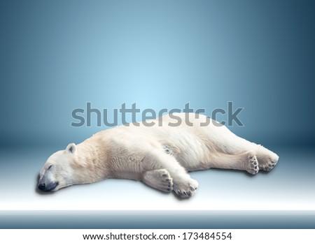 one polar bear sleeps on a blue background.  - stock photo