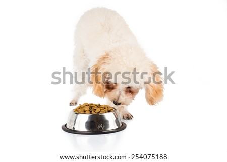 One poodle puppy eating kibbles from a bowl, with the other not interested.