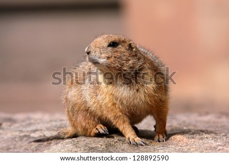 one prairie dog on his sentry - stock photo
