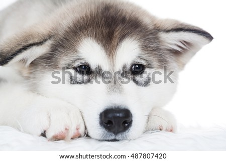 One puppy Husky,  white isolated. Beautiful dog. Animal background. Close up. Snow winter.