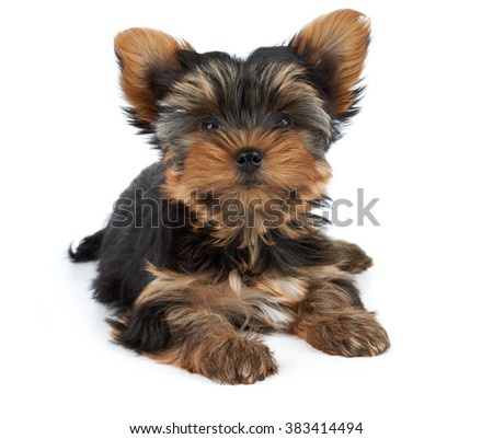 One puppy of the Yorkshire Terrier lies on white background
