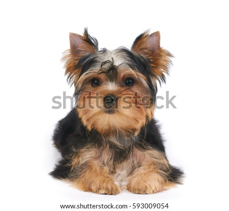 yorkie stock images royalty free images vectors shutterstock. Black Bedroom Furniture Sets. Home Design Ideas