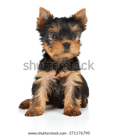 One puppy of the Yorkshire Terrier on white