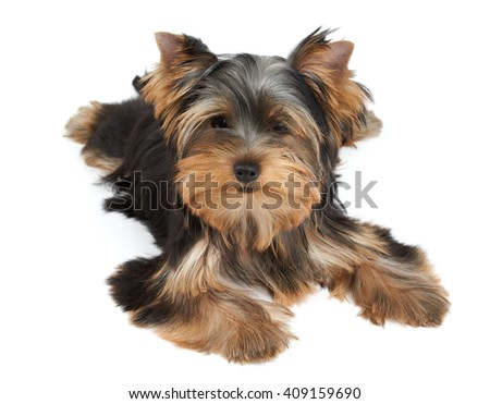 One puppy of the Yorkshire Terrier on white - stock photo