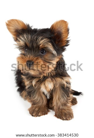 One puppy of the Yorkshire Terrier sits on white background and looks up