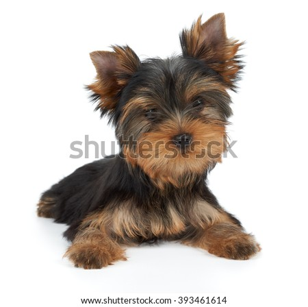 One puppy of the Yorkshire Terrier with tilted head on white - stock photo