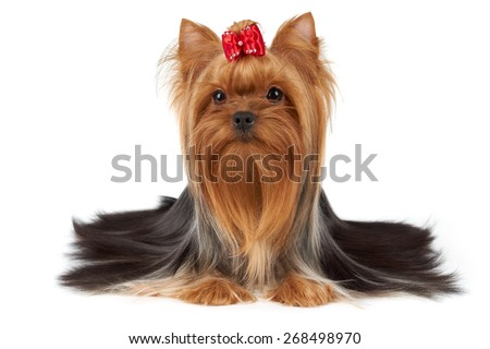 One purebred Yorkshire Terrier with beautiful long hair and red bow on top is isolated on white backdrop                              - stock photo
