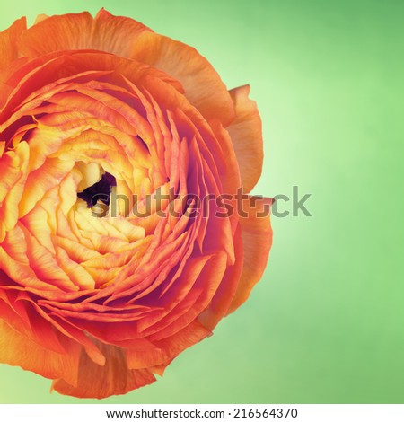 One ranunculus flower on vintage background - stock photo
