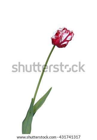 One red and white parrot tulip isolated on white background