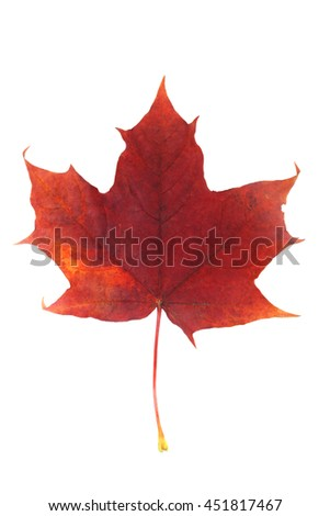 One red autumn dry maple leaf isolated on white background