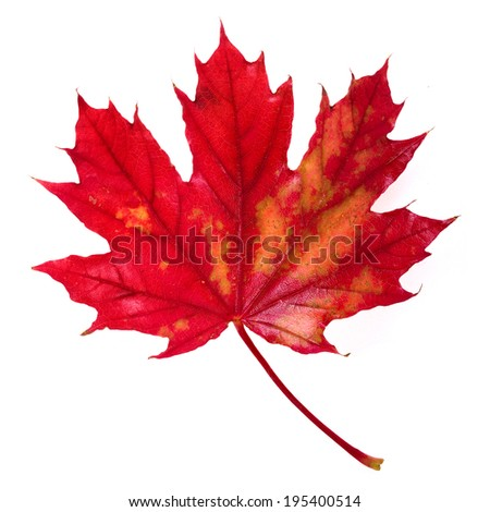 one red autumn leaf surface top view isolated on a white background
