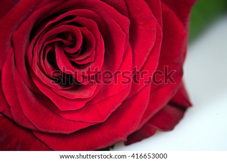 One red beautiful rose on white background - stock photo