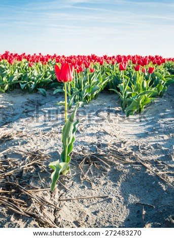 One red blooming tulip is completely separate from the large group of the other tulips. - stock photo