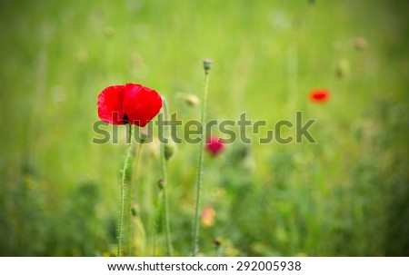 One red poppy in a green field with dark vignette - stock photo