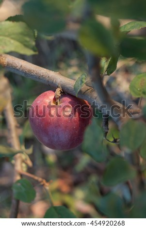 One red ripe apple on a branch - stock photo