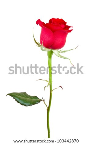 One red rose isolated against a white background.