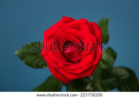 one red rose on blue background
