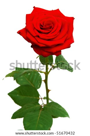 one red rose on white
