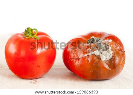 One red tomato with toxic mold and one good fresh fruit, wastage of old Lycopersicon, bad moldy and rotten vegetable food. Nobody, horizontal orientation. - stock photo