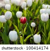 One red tulip in a sea of white tulips. - stock photo