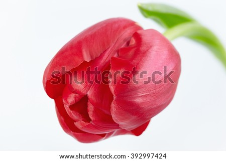 One red tulip on a white background - stock photo