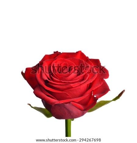 One red velvety rose, side view, isolation on a white background - stock photo