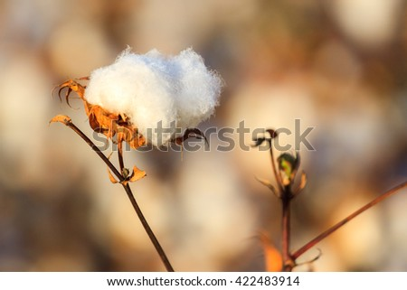 One ripe blown cotton bud on a colored blurry background