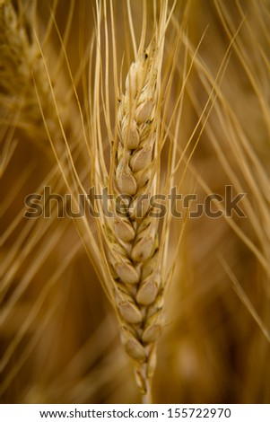 One ripe head of golden wheat in the field - stock photo