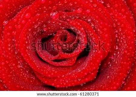 one rose - stock photo