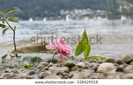 one rose at stony lake shore, farewell scene - stock photo