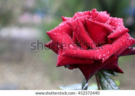 One rose with water droplets in the garden - stock photo