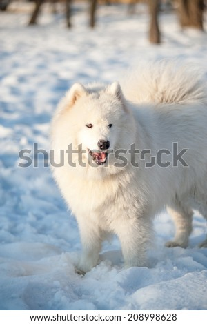 one samoed dog white in the winter