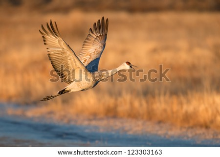 One sand hill crane (Grus canadensis) in flight at Bosque del Apache National Wildlife Refuge