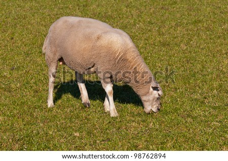 One sheep grazing on grass. It is springtime and the sheep is hungry.