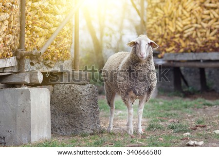 One sheep standing beside corn cobs in barn on farmland and looking at camera