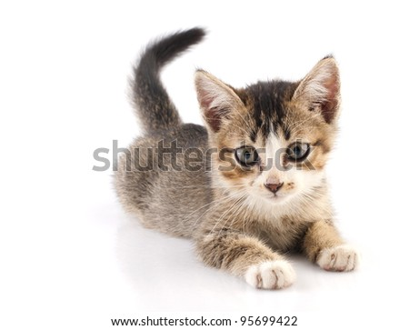 One short haired baby cat on white background