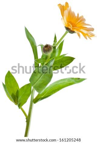One Single orange flower calendula close up macro Isolated on white background - stock photo