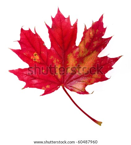 one single red autumn leaf isolated on a white background
