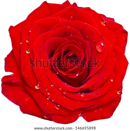 One single red rose bud close up macro shot with water drops - stock photo