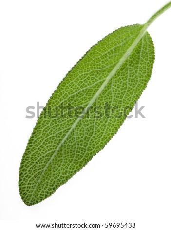 One single sage leaf close up macro shot isolated on white background - stock photo
