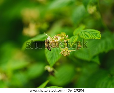 one small bee pollination flower on a raspberry cane with copy space place - stock photo