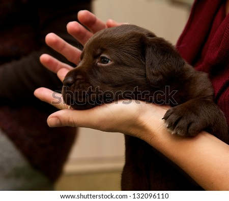 One small brown labrador sitting in a hands, small nice puppy dog, looking puppy, funny little dog, brown labrador puppy with woman hands fragment, body part, small puppy on hands - stock photo