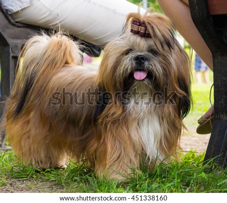 one small dog shih tzu breed standing in the park near the bench on which two people sit