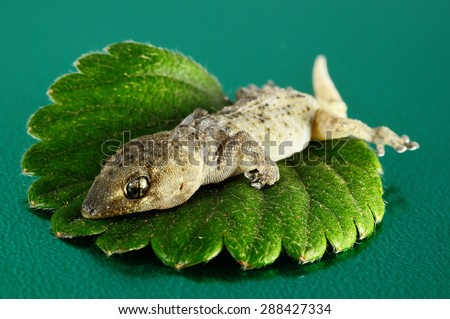 One Small Gecko Lizard and Green Leaf on a Colored Background - stock photo